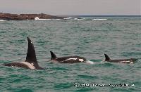 ORCAS EN PUERTO DESEADO